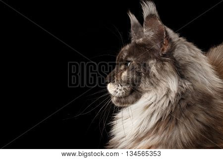 Close-up Portrait of Brown Maine Coon Cat in Profile Isolated on Black Background, Side view