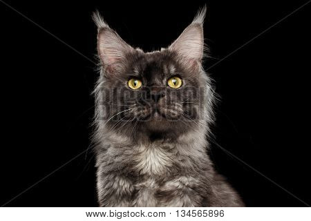 Close-up Portrait of Maine Coon Cat Looks Curious in Camera Isolated on Black Background, Front view
