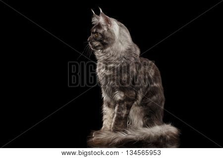 Gray Maine Coon Cat with Yellow eyes Sitting and Looks Curious Isolated on Black Background, Side view