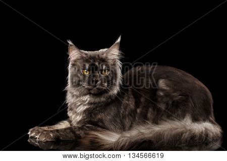 Gray Maine Coon Cat Lying and Looks Curious Isolated on Black Background, Side view