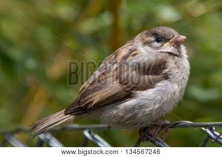 young sparrow on wire mesh fence with natural background