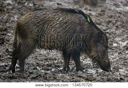 Wild Hog Female And Piglets In The Mud
