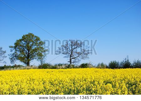 Countryside springtime with trees by a blossom canola field