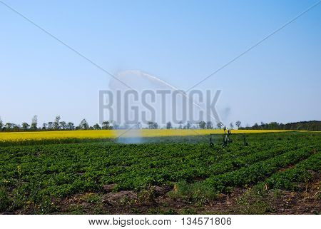 Irrigation of a field with growing strawberry plants