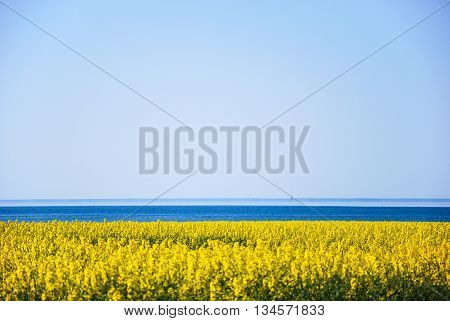 Colorful coastline by the coast at spring with yellow field and blue water