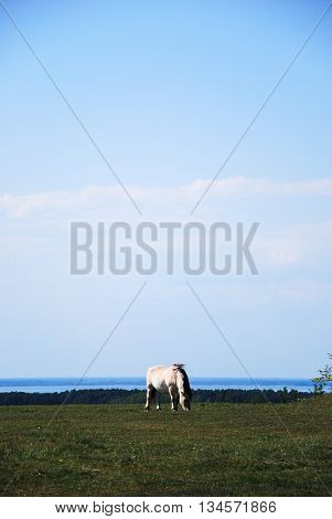 Single fjord horse grazing in a pasture land with blue water at the horizon