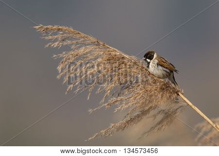Reed bunting (Emberiza schoeniclus) in natural environment