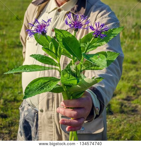 Cornflower bouquet in the hand of man. Man holding wildflowers in the meadow. Focus on the cornflower bouquet.