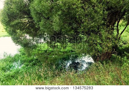 Lush green willow over water at summer day