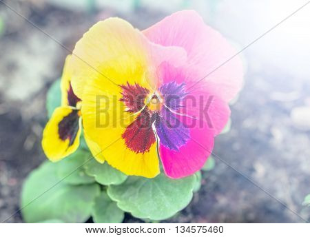 Pansy flower two-tone in pink and yellow