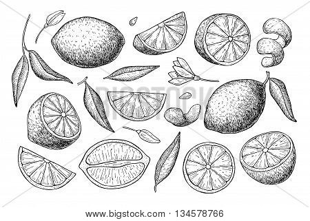 Vector hand drawn lemon set. Whole lemon sliced pieces half leafe and seed sketch. Tropical summer fruit engraved style illustration. Detailed citrus drawing. Great for tea juice lemon water