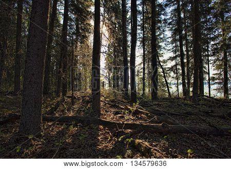 First light peering through the forest in Saskatchewan Canada