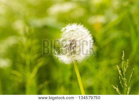 A dandelion head against a natural green background