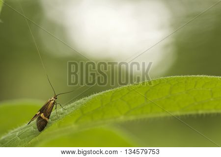 Long Horned Moth (Nemophora Degeerella) resting on a green leag