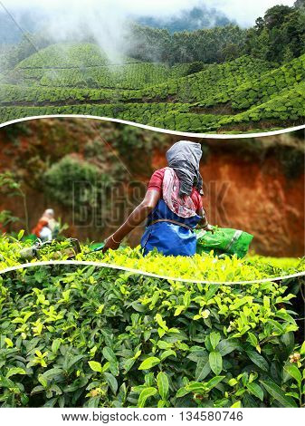 Collage Of  Tea Plantations In Munnar ( India ) Images - Travel Background (my Photos)