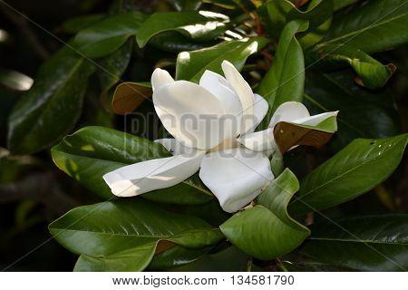 White Magnolia tree flower background at rural Georgia, USA.