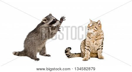 Funny raccoon and  cat Scottish Straight isolated on white background