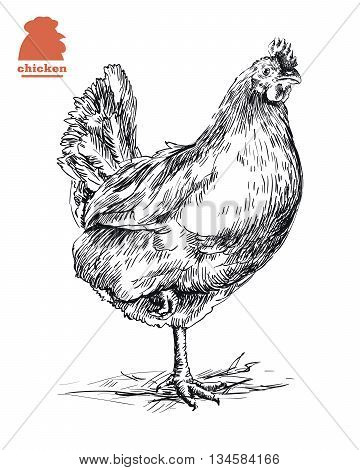 chicken standing on one leg. hand drawn sketch