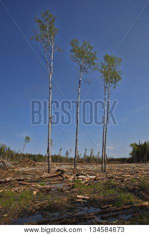 Four poplar trees that were not cut in logging in Saskatchewan Canada