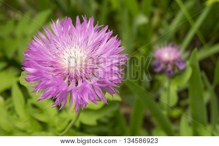 Beautiful flower of the dahlia grows on background green sheet