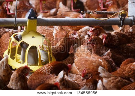 Farm chicken in a barn eating from an automatic feeder. Animal abuse living in captivity food production and industry concept.