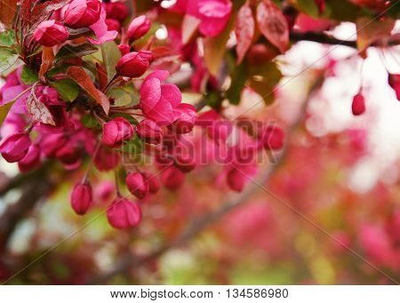 A closeup of beautiful red and pink cherry blossom flowers in a tree with a blurred background area for a love or romance concept.