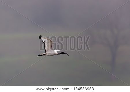 African sacred ibis (Threskiornis aethiopicus) during flight