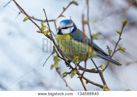 Blue Tit (Parus caeruleus) sitting on a tree