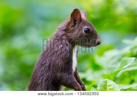 Eurasian red squirrel (Sciurus vulgaris) within green environment