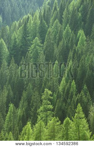 Healthy green trees in a forest of old spruce fir and pine trees in wilderness of a national park. Sustainable industry ecosystem and healthy environment concepts and background.