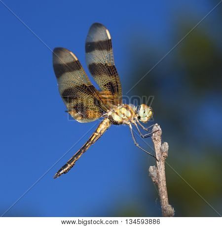 Orange and brown winged dragonfly that has eggs all over