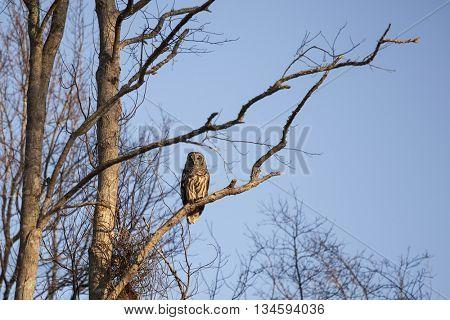 Barred Owl in Okefenokee swamp, Georgia