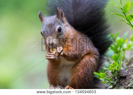 Portrait of a Eurasian red squirrel (Sciurus vulgaris) with nut