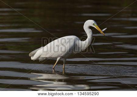 Great White Heron (Egretta Alba) with fish on dark background