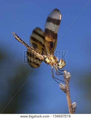 Orange dragonfly that is carrying eggs resting on a stick