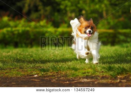 Papillon is a happy dog runs in the summer on the loose without a leash in nature