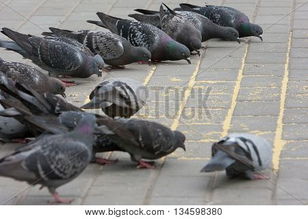 Many pigeons in a big city. Birds with seeds.