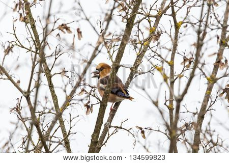 hawfinch (Coccothraustes coccothraustes) sitting in a tree and eating a pip