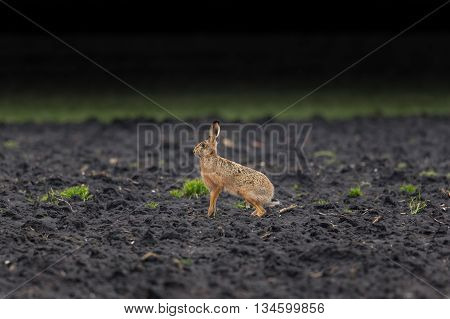 brown hare (European hare, Lepus europaeus) sitting in a field