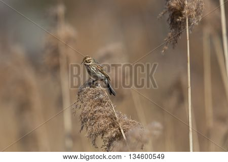 Female (common) reed bunting (Emberiza schoeniclus) sitting on a reed stalk
