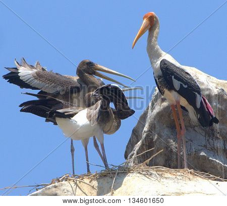 Painted Stork chicks begging parent for food, Songkhla, Thailand