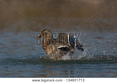 Female mallard (Anas platyrhynchos) during pluming and grooming