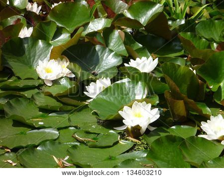 White Waterlily Floating On A Pond