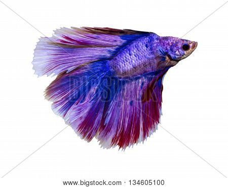Fish capture the movement of fish isolated on white background.[ breed tail crown flake Diamond ]