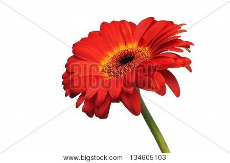 Red gerbera daisy flower isolated on a white background