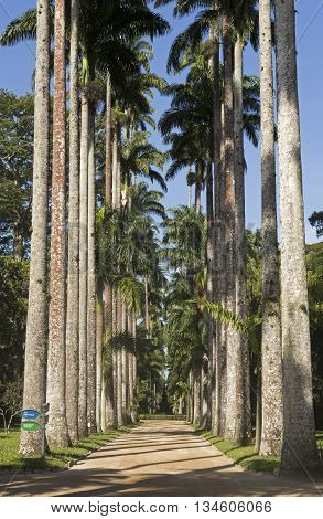 Avenue of Royal Palm Trees at Botanical Garden in Rio de Janeiro, Brazil