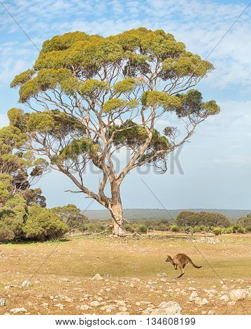 Kangaroo hopping towards a eucalyptus tree in the Grassdale area of Kelly Hill Conservation Park, Kangaroo Island, South Australia.