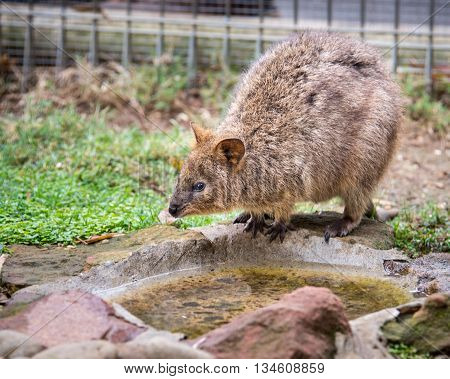DOONSIDE NSW/AUSTRALIA - NOV 2, 2015: Quokka (Setonix brachyurus) drinking water at Featherdale Wildlife Park, New South Wales, Australia.