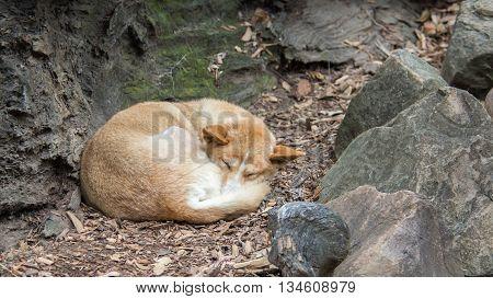 DOONSIDE NSW/AUSTRALIA - NOV 2, 2015: Dingo (Canis lupus dingo) sleeping at Featherdale Wildlife Park, New South Wales, Australia.