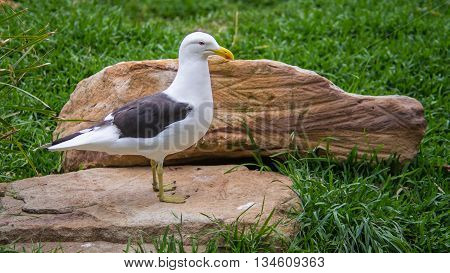 DOONSIDE NSW/AUSTRALIA - NOV 2, 2015: Kelp Gull (Larus dominicanus) standing at Featherdale Wildlife Park, New South Wales, Australia.